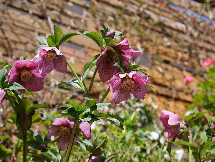 オリエンタリス 紫のシングルの花がかなり咲いた。2021年-036.jpg