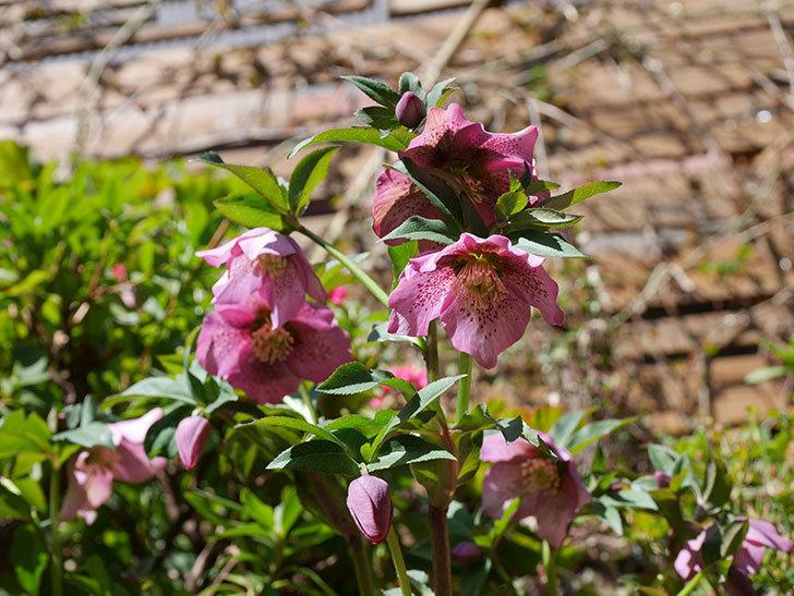 オリエンタリス 紫のシングルの花がかなり咲いた。2021年-038.jpg