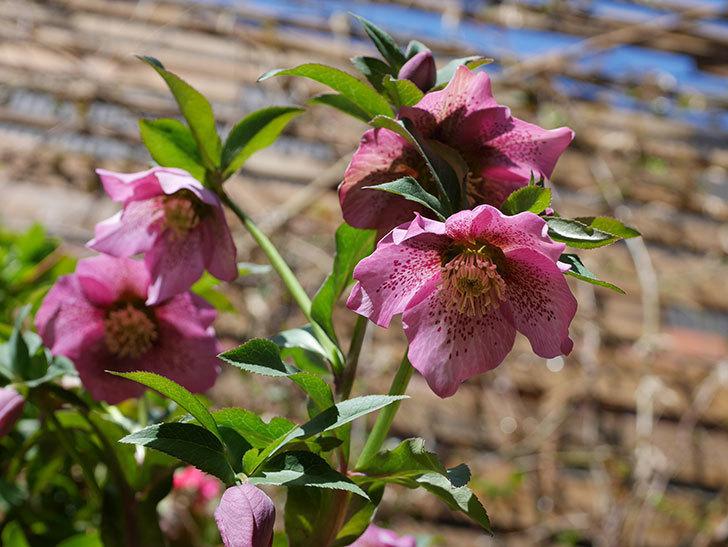 オリエンタリス 紫のシングルの花がかなり咲いた。2021年-040.jpg