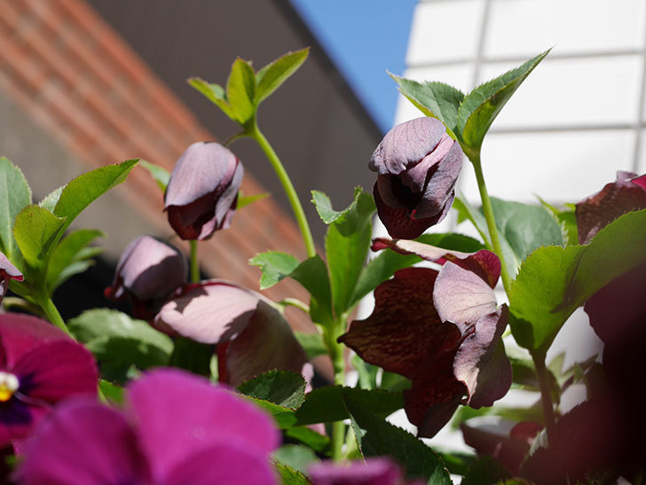 オリエンタリス 紫のシングルの花がかなり咲いた。2021年-042.jpg