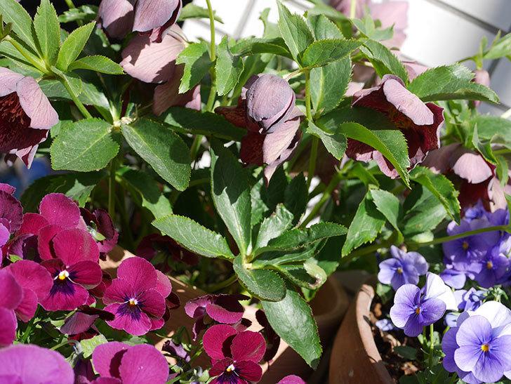 オリエンタリス 紫のシングルの花がかなり咲いた。2021年-043.jpg