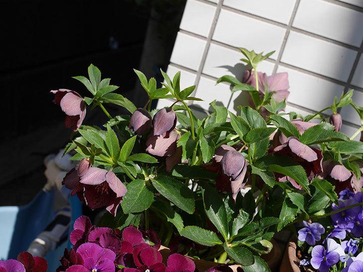 オリエンタリス 紫のシングルの花がかなり咲いた。2021年-044.jpg