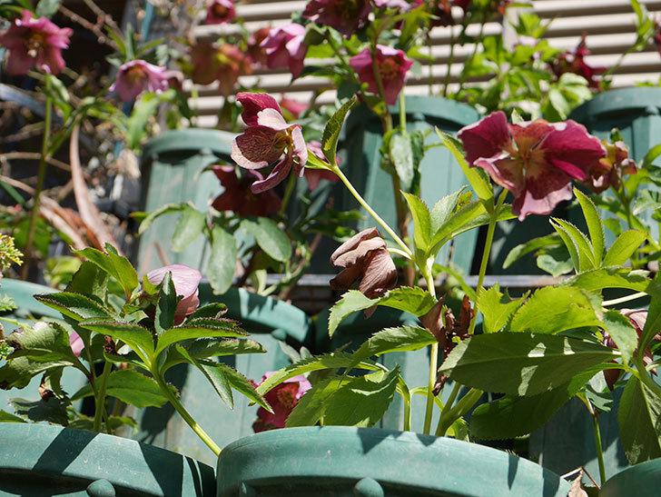 オリエンタリス 紫のシングルの花がかなり咲いた。2021年-049.jpg