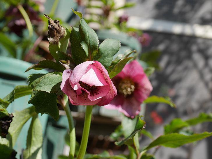 オリエンタリス 紫のシングルの花がかなり咲いた。2021年-050.jpg
