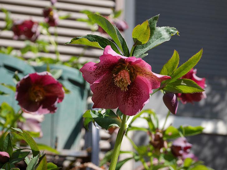 オリエンタリス 紫のシングルの花がかなり咲いた。2021年-052.jpg