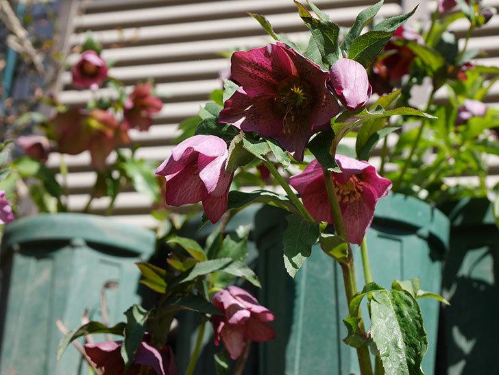オリエンタリス 紫のシングルの花がかなり咲いた。2021年-053.jpg