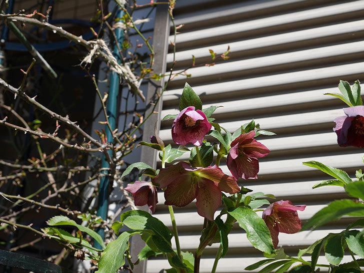 オリエンタリス 紫のシングルの花がかなり咲いた。2021年-054.jpg