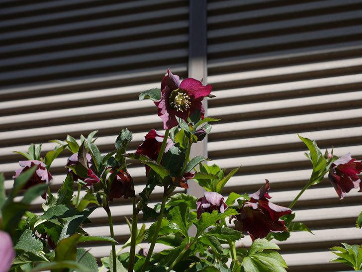 オリエンタリス 紫のシングルの花がかなり咲いた。2021年-055.jpg