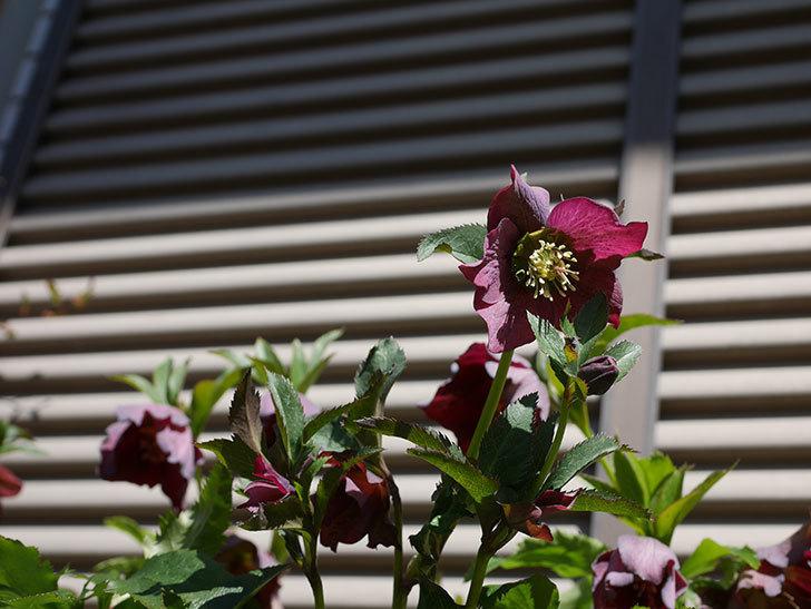 オリエンタリス 紫のシングルの花がかなり咲いた。2021年-056.jpg