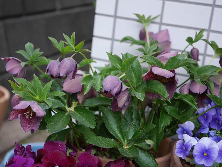 オリエンタリス 紫のシングルの花がかなり咲いた。2021年-057.jpg
