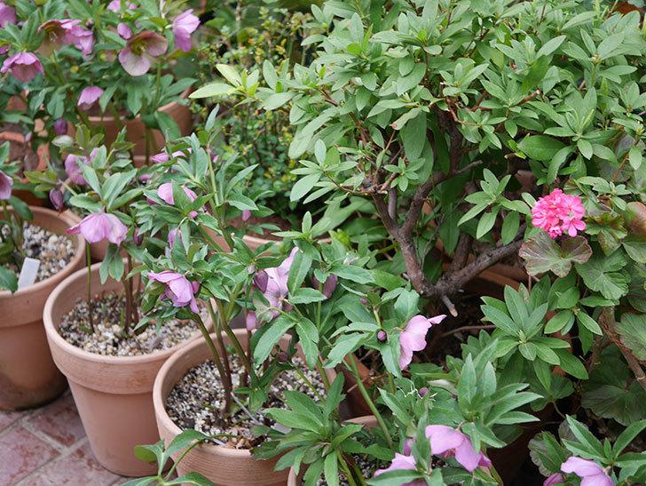 オリエンタリス 紫のシングルの花がかなり咲いた。2021年-058.jpg