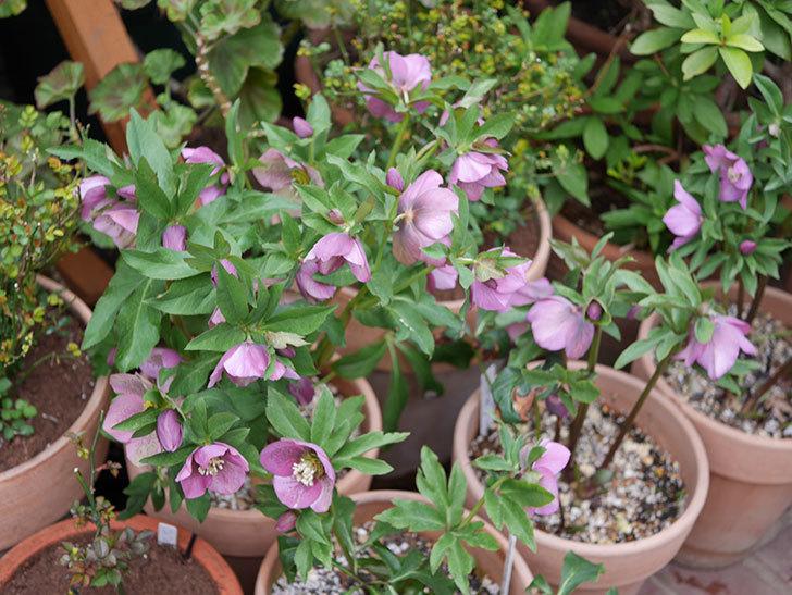 オリエンタリス 紫のシングルの花がかなり咲いた。2021年-059.jpg
