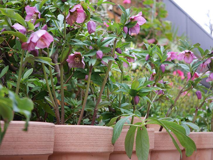 オリエンタリス 紫のシングルの花がかなり咲いた。2021年-063.jpg