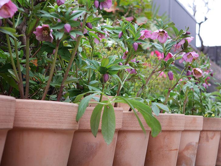 オリエンタリス 紫のシングルの花がかなり咲いた。2021年-064.jpg