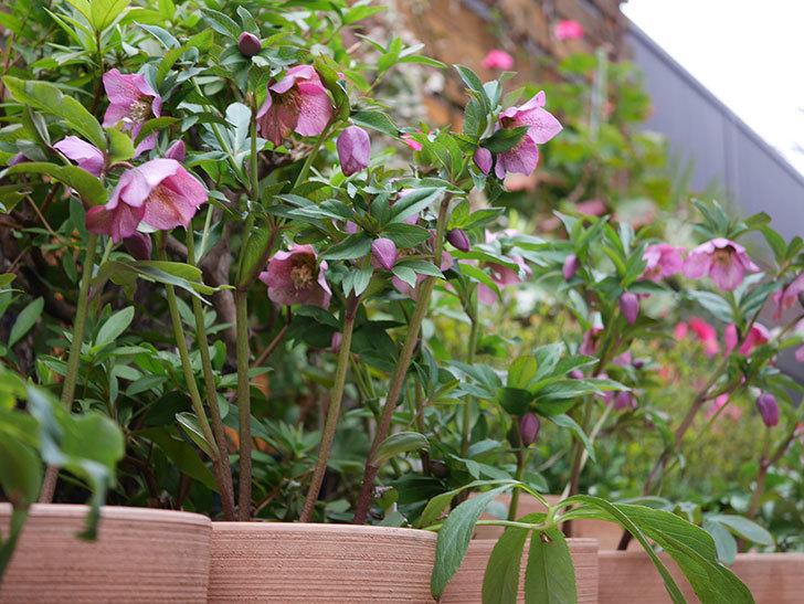 オリエンタリス 紫のシングルの花がかなり咲いた。2021年-066.jpg