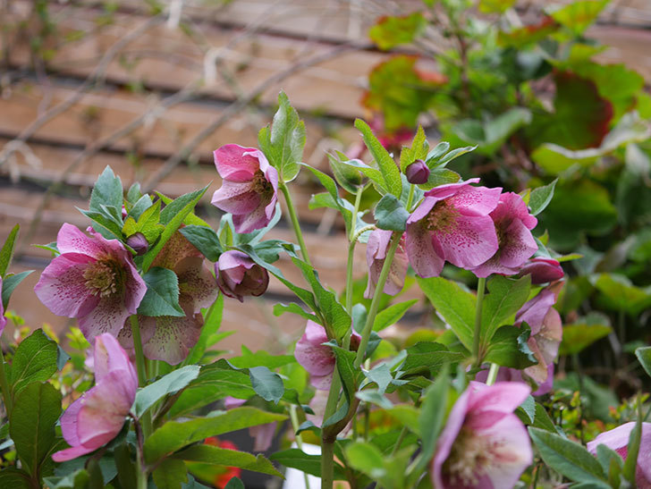 オリエンタリス 紫のシングルの花がかなり咲いた。2021年-070.jpg