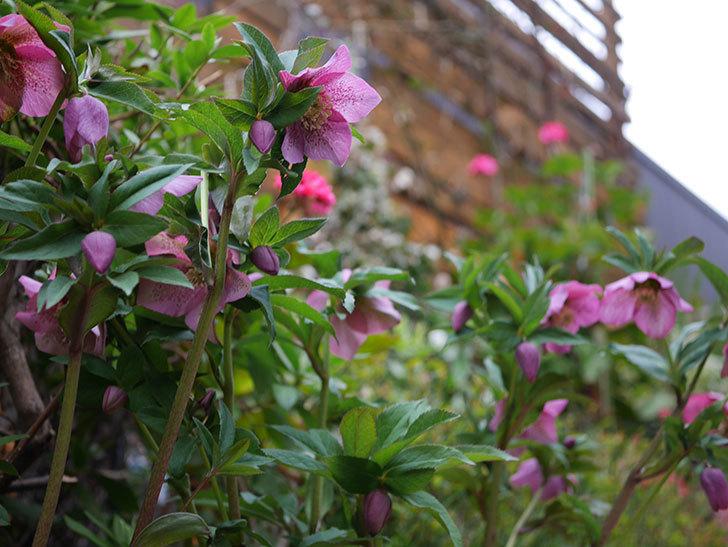 オリエンタリス 紫のシングルの花がかなり咲いた。2021年-074.jpg