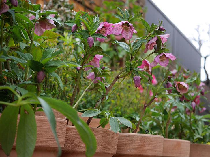 オリエンタリス 紫のシングルの花がかなり咲いた。2021年-076.jpg