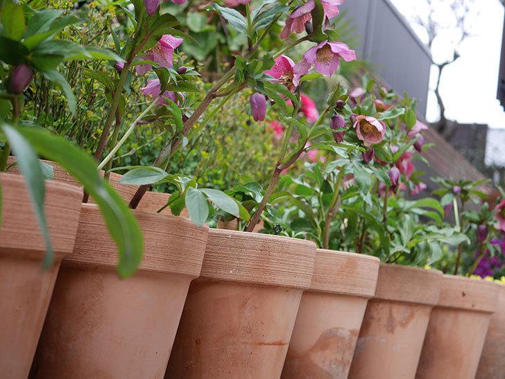 オリエンタリス 紫のシングルの花がかなり咲いた。2021年-077.jpg