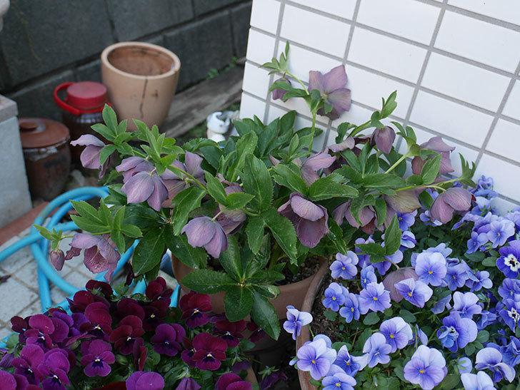 オリエンタリス 紫のシングルの花がかなり咲いた。2021年-082.jpg