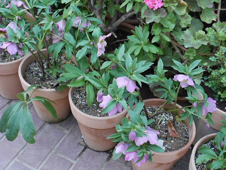 オリエンタリス 紫のシングルの花がかなり咲いた。2021年-083.jpg