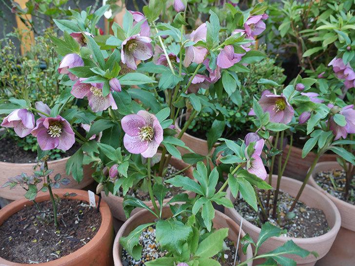 オリエンタリス 紫のシングルの花がかなり咲いた。2021年-084.jpg