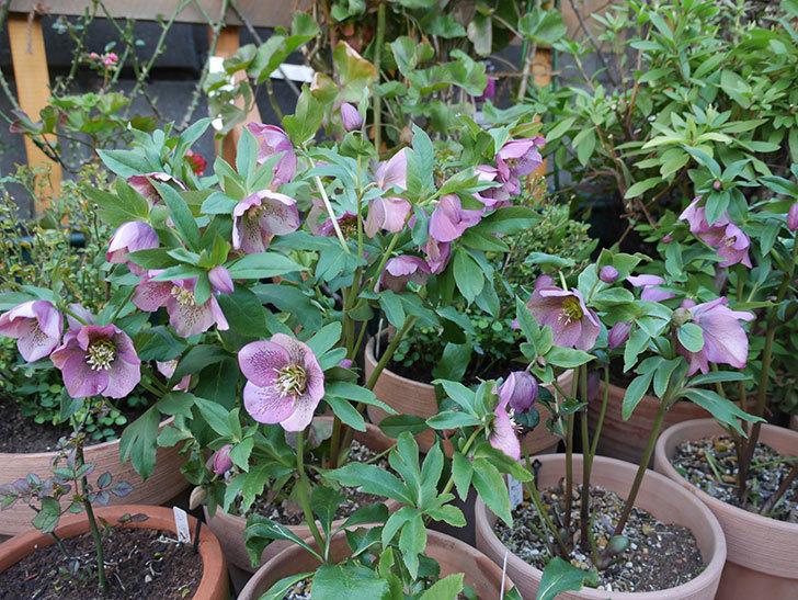 オリエンタリス 紫のシングルの花がかなり咲いた。2021年-085.jpg