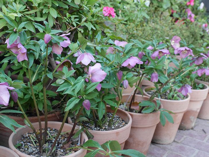 オリエンタリス 紫のシングルの花がかなり咲いた。2021年-086.jpg