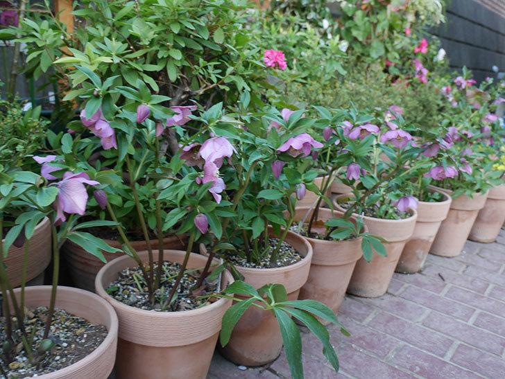 オリエンタリス 紫のシングルの花がかなり咲いた。2021年-087.jpg