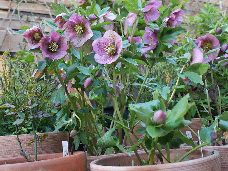 オリエンタリス 紫のシングルの花がかなり咲いた。2021年-088.jpg