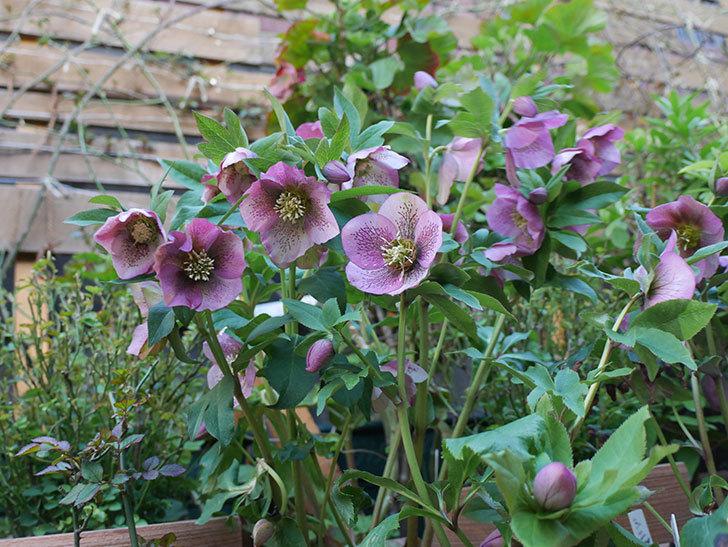 オリエンタリス 紫のシングルの花がかなり咲いた。2021年-089.jpg