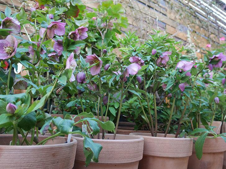 オリエンタリス 紫のシングルの花がかなり咲いた。2021年-090.jpg