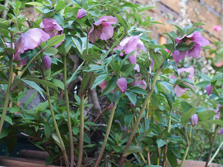 オリエンタリス 紫のシングルの花がかなり咲いた。2021年-092.jpg