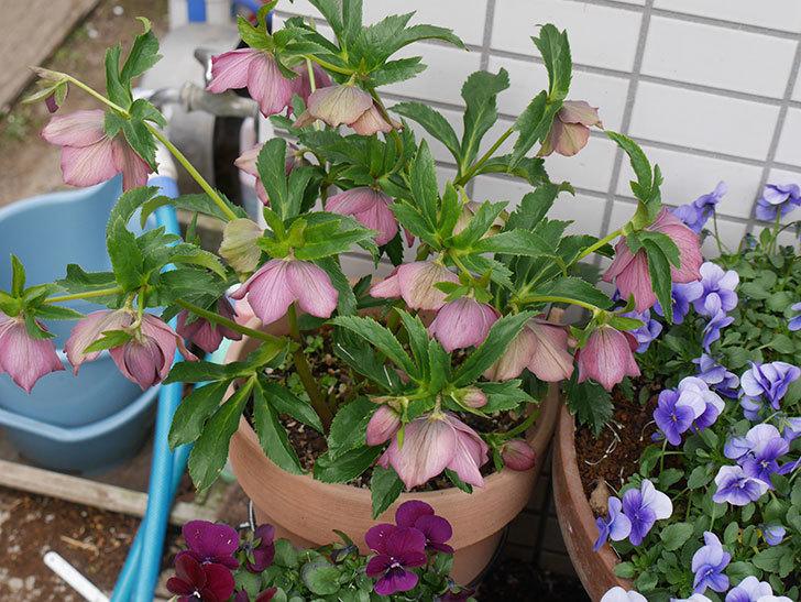 オリエンタリス 紫のシングルの花がたくさん咲いた。2021年-002.jpg