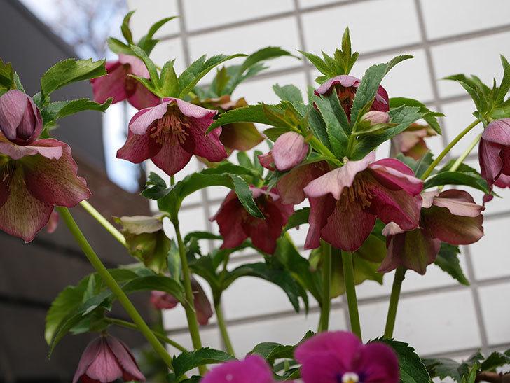 オリエンタリス 紫のシングルの花がたくさん咲いた。2021年-004.jpg