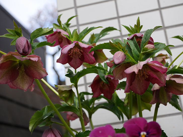 オリエンタリス 紫のシングルの花がたくさん咲いた。2021年-005.jpg