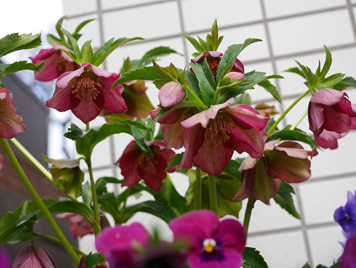 オリエンタリス 紫のシングルの花がたくさん咲いた。2021年-006.jpg
