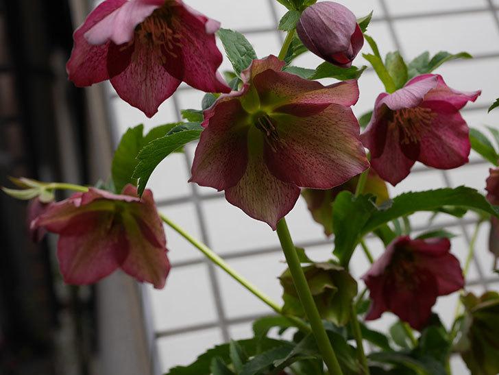 オリエンタリス 紫のシングルの花がたくさん咲いた。2021年-007.jpg