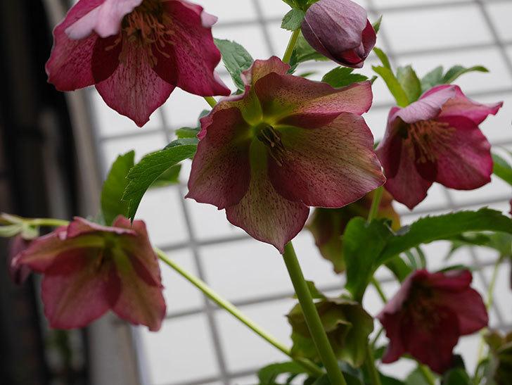 オリエンタリス 紫のシングルの花がたくさん咲いた。2021年-008.jpg