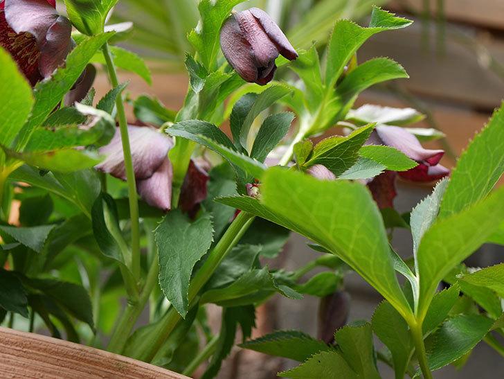 オリエンタリス 紫のシングルの花がたくさん咲いた。2021年-013.jpg
