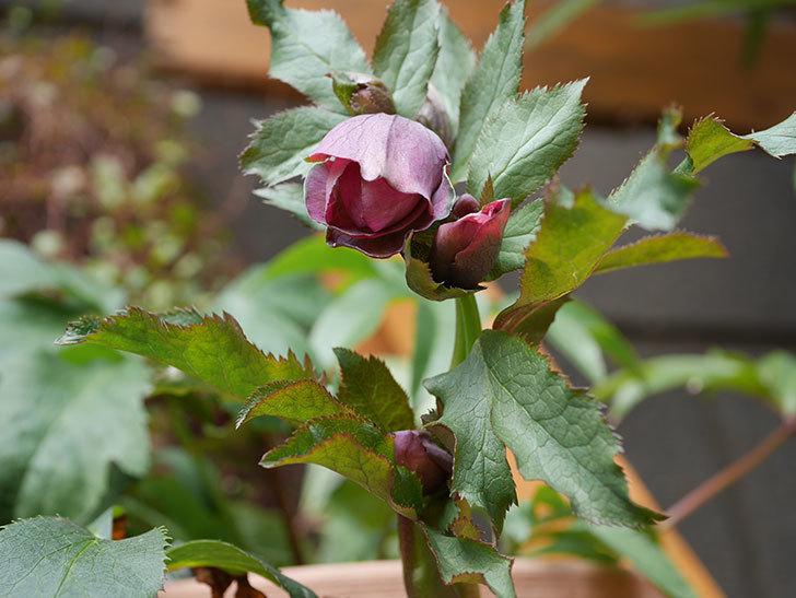 オリエンタリス 紫のシングルの花がたくさん咲いた。2021年-014.jpg