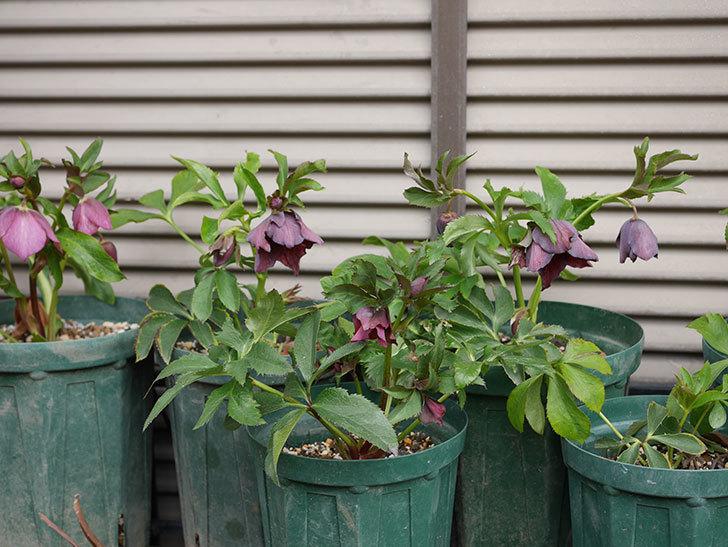 オリエンタリス 紫のシングルの花がたくさん咲いた。2021年-019.jpg