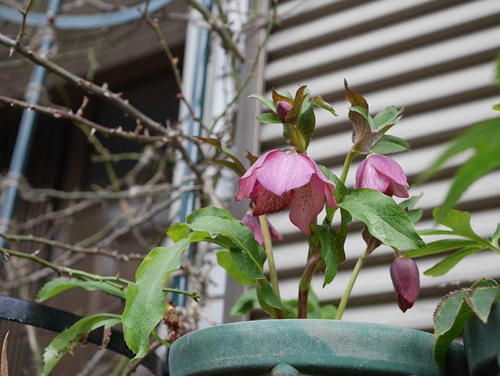 オリエンタリス 紫のシングルの花がたくさん咲いた。2021年-020.jpg