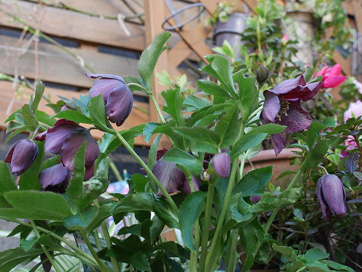オリエンタリス 紫のシングルの花がたくさん咲いた。2021年-022.jpg