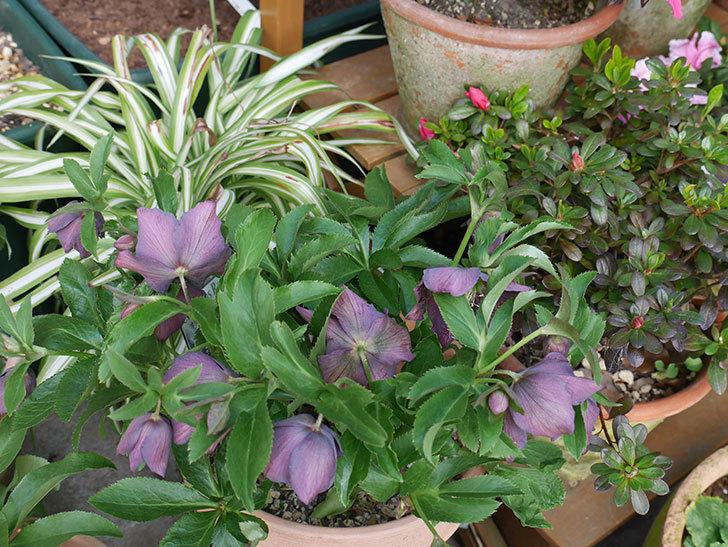 オリエンタリス 紫のシングルの花がたくさん咲いた。2021年-023.jpg