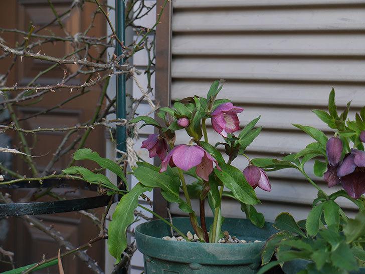 オリエンタリス 紫のシングルの花がたくさん咲いた。2021年-025.jpg