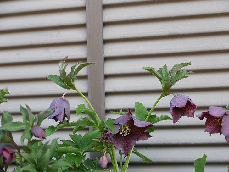 オリエンタリス 紫のシングルの花がたくさん咲いた。2021年-026.jpg