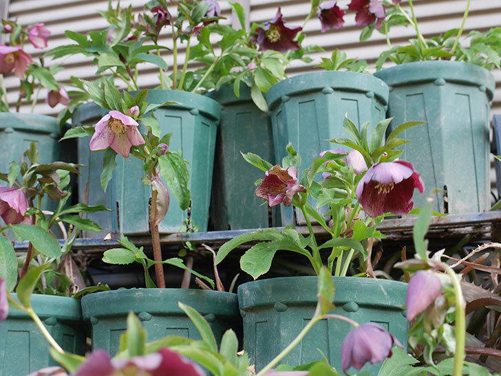 オリエンタリス 紫のシングルの花がたくさん咲いた。2021年-029.jpg