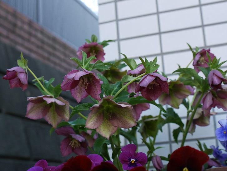 オリエンタリス 紫のシングルの花がたくさん咲いた。2021年-030.jpg