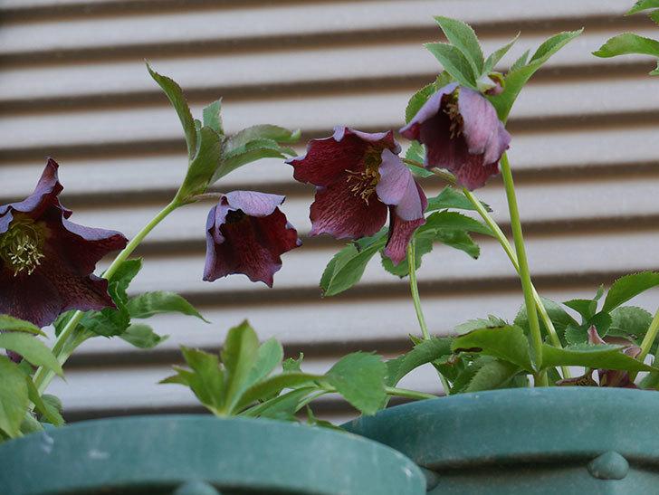 オリエンタリス 紫のシングルの花がたくさん咲いた。2021年-037.jpg